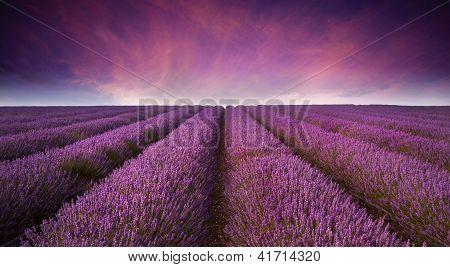 Stunning Lavender Field Landscape Summer Sunset