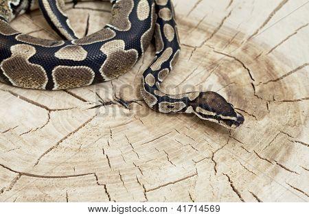 Royal Python Snake On A Stump