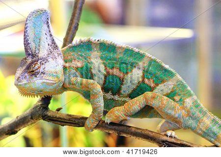 Veiled Chameleon, Chamaeleo Calyptratus