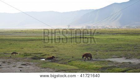 Ngorongoro Scavanger