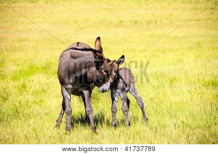 Portrait Of A Mother And Baby Burro