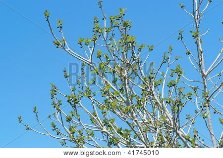 Small green figs ang young leaves on the tree against the sky in spring