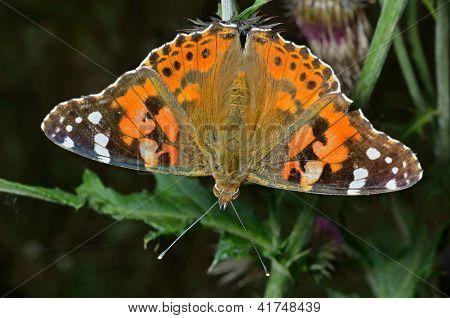 Butterfly (vanessa Cardui)