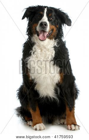 bernese mountain dog sitting looking at viewer isolated on white background