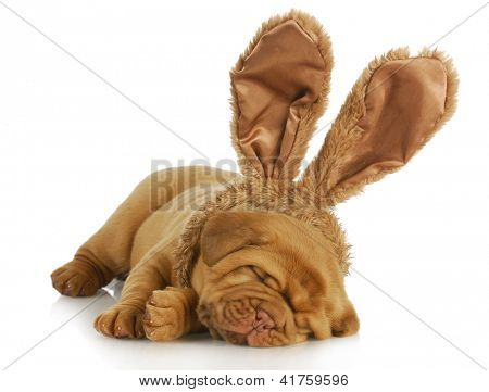 puppy wearing bunny ears - dog de bordeaux wearing easter bunny ears on white background - 4 weeks old