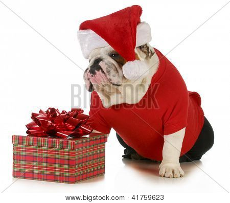 santa dog - english bulldog dressed like santa sitting beside christmas present
