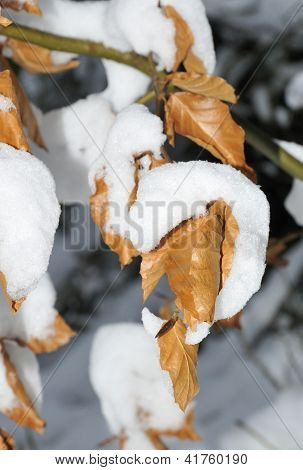 Beech Leaves with snow