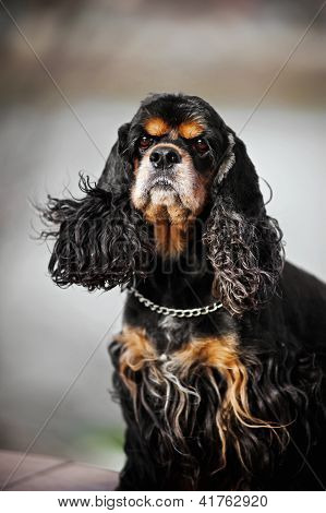 american cocker spaniel portrait