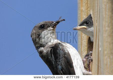 Mother Tree Swallow Feeding Baby