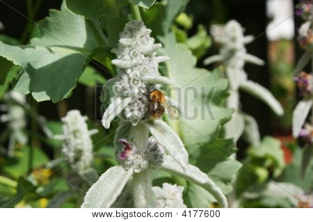 Honey Bee Visiting Lambs Ear Flower