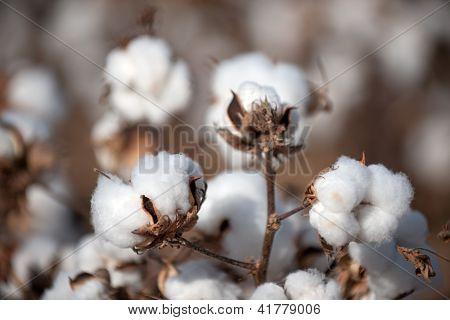 Bolas de algodón