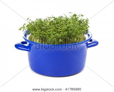 Garden Cress planted into a blue casserole, isolated on white background