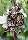 stock photo of jungle snake  - Royal Python snake creeping on a wooden branch - JPG