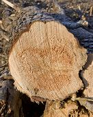 stock photo of skidder  - A freshly cut pin log waiting to be processed - JPG