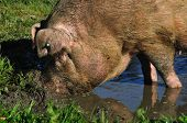 picture of wallow  - Domestic pig wallowing in a mud puddle Westland New Zealand - JPG