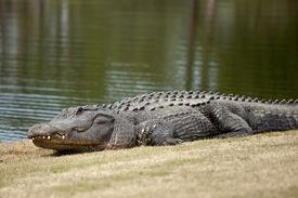 image of crocodilian  - wild alligator sunning on golf course - JPG