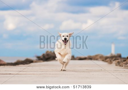 golden retriever dog running outside