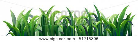 Illustration of the green elongated grasses on a white background