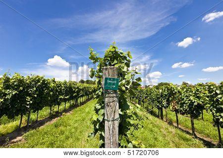 Vineyard Of Zweigelt Grape