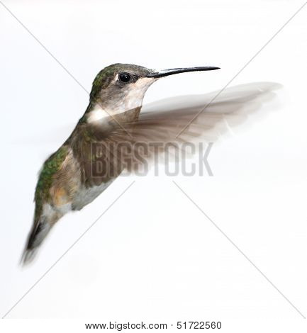 Baby hummingbird in flight