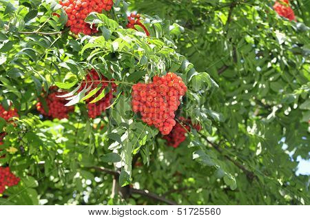 Sorbus aucuparia, commonly called rowan and mountain-ash, is a species of deciduous tree or shrub in