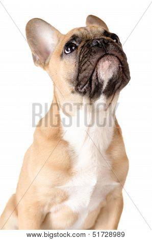 French Bulldog Before White Background