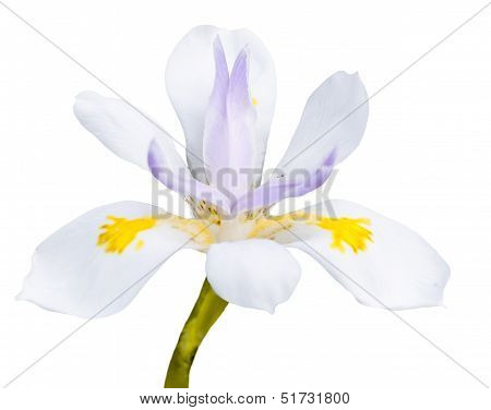 White Fairy Iris Flower on a White Background