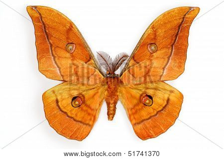 Japanese Silk Moth Antheraea yamamai