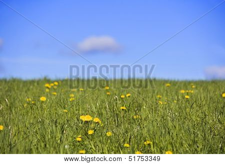 Field with dandelions and a blue sky