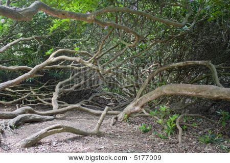 Rhododrendron Trunks