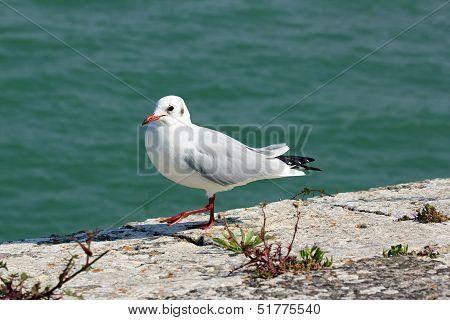 Black-headed gull Walking