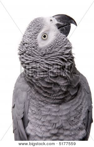 African Grey Congo