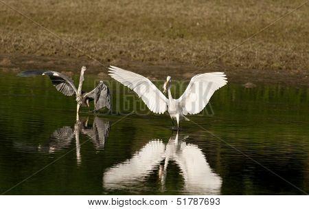 Gray and white heron