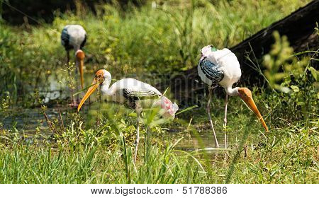 Painted Stork group
