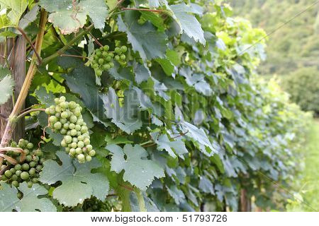 Green mellow and ripe white wine Grapes in Durnstein vineyard, Wachau Valley, Austria