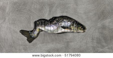 small freak salmon salmo salar