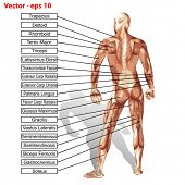 stock photo of triceps brachii  - Vector 3D male or human anatomy - JPG
