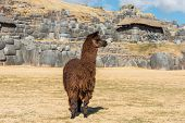 Alpaca at Sacsayhuaman, Incas ruins in the peruvian Andes at Cuzco Peru South America