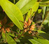 Grevillea Orange Marmalade Flower Australian Native tree