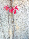foto of creeper  - Autumn red Virginia Creepers or Woodbines Parthenocissus quinquefolia climbing on a cement wall in Stockholm in October - JPG