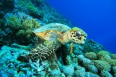 picture of coral reefs  - Hawksbill Turtle sits on a coral reef - JPG