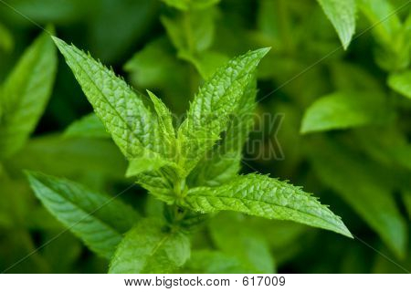 Einzelne Pfefferminze Pflanze