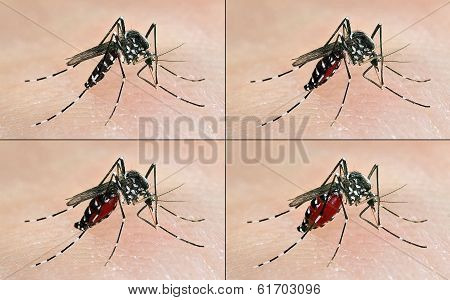 tiger mosquito having a blood meal