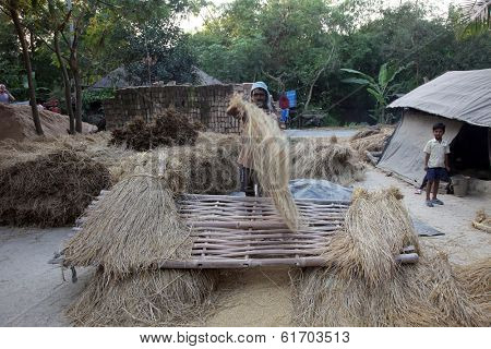 BAIDYAPUR, INDIA - DEC 02: Rice is threshed/winnowed on Dec 02, 2012 in Baidyapur, West Bengal, India. All the work is done by hand without the use of machines