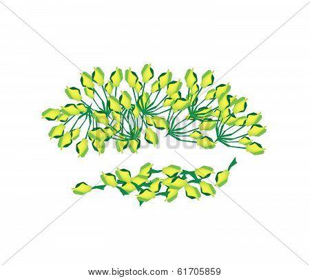 Heap Of Fresh Green Cowslip Creeper Flower