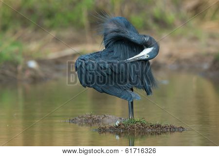Western Reef Heron Preening The Back Of Its Wing