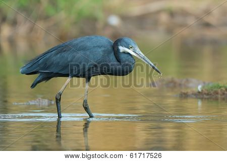 Western Reef Heron With Water Droplets Dripping From Its Beak