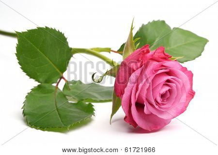 Single pink rose isolated over white background