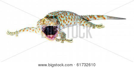Tokay gecko - Gekko gecko isolated on white background with path