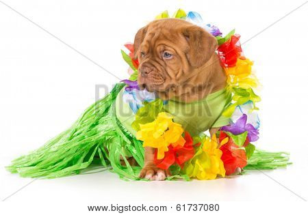 hula dog - dogue de bordeaux wearing grass skirt and lei